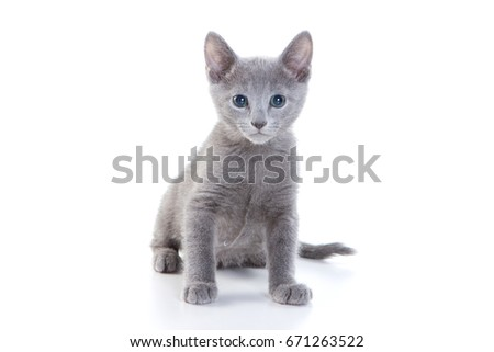 kitten Russian blue cat (isolated on white) #671263522