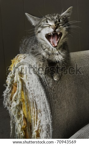 Kitten seemingly laughs over a cat scratched damaged sofa.