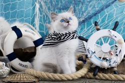 Kitten Sits next to the sea decor, breed regdoll