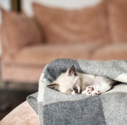 Kitten sleep on knitted plaid. Little cut cat at home