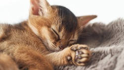 Kitten sleeping on a fur brown blanket Photo of a brown purebred cute little ginger abessin kitten. Dream sleep rest slumber. Young cat relax.