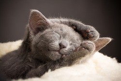 Kitten sleeping, russian blue cat.