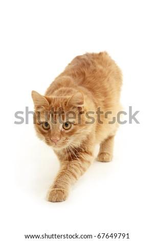 kitten slink isolated on white background