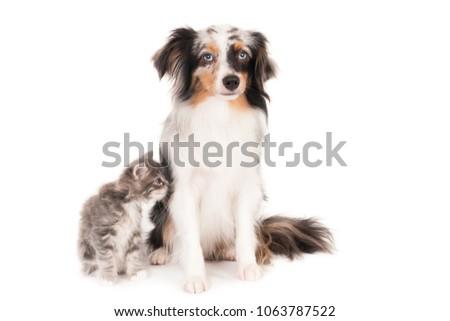 Kitten smelling a small Australian Shepherd Blue Merle dog. On white. #1063787522