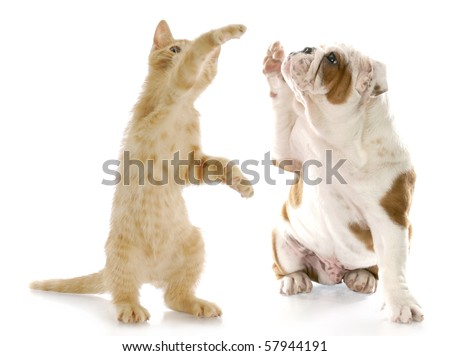 kitten standing up giving high five to english bulldog puppy with reflection on white background