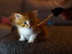 Kitten taking CBD / Hemp Oil from Tincture Dropper