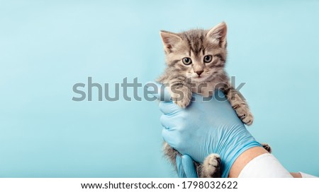 Kitten vet examining. Striped gray cat in doctor hands on color blue background. Kitten pet check up, vaccination in veterinarian animal clinic.Health care domestic animal.Long Web banner Copy space Photo stock ©
