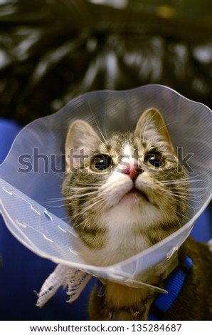 Kitten wearing protective collar after sterilization surgery - stock photo