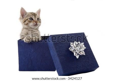 kitten (5 weeks) in a blue gift box