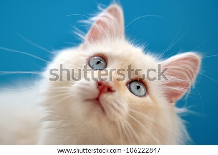 Kitten with blue eyes