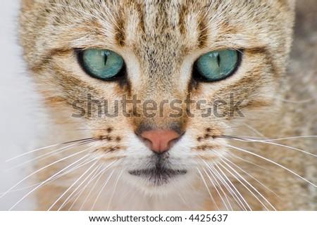 kitten with blue eyes closeup - stock photo