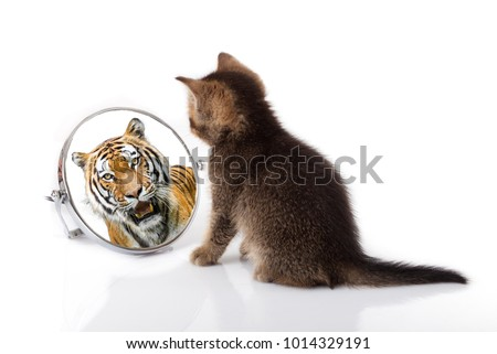 kitten with mirror on white background. kitten looks in a mirror reflection of a tiger ストックフォト ©