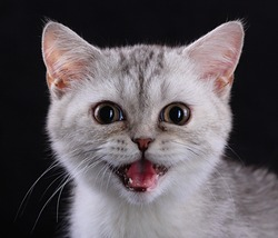 kitten with open mouth, isolated black background