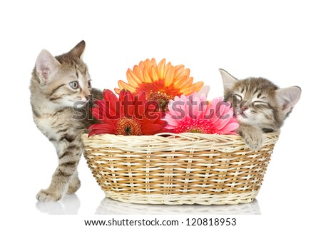 kittens in a basket with flowers. isolated on white background