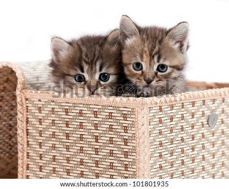 Kittens in a gift box. It is isolated on a white background