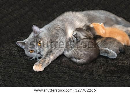Kittens suck a cat, a Cat with kittens, newborn kittens, mother cat feeding kittens, children, breast milk, feeding newborn kittens, newborn animals, the British breed of cats, motherhood in animals.
