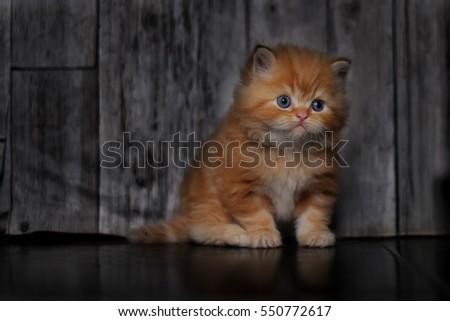 Kitty - Shutterstock ID 550772617