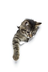 Kitty in hole of paper, little grey tabby cat getting out through torn white background, funny pet