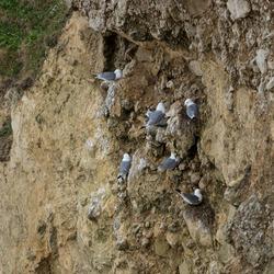 Kittywake. Sea Gull roosting on cliff ledge.