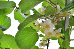Kiwi blooming and white flower on branches of kiwi fruit vine and green new leaves on a spring day in the garden. Spring foliage and natural background concept. Close up, selective focus