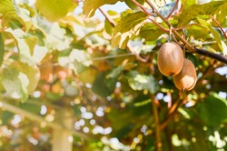 Kiwi on a kiwi tree plantation with with huge clusters of fruits. Garden with trees and organic fruits. Solar light and leaf movement