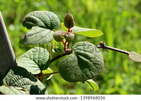 Kiwi or Kiwifruit or Chinese gooseberry woody vine plant with dark green to red leathery leaves and hairy stem planted in local garden on warm sunny spring day