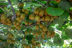Kiwi picking season. Kiwi on a kiwi tree plantation with with huge clusters of fruits. Garden with trees and organic fruits. Solar light and leaf movement.