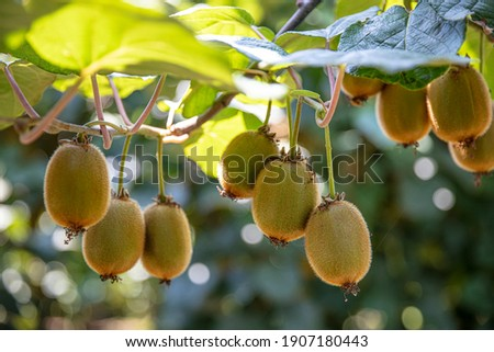 Kiwi picking season. Kiwi on a kiwi tree plantation with with huge clusters of fruits. Garden with trees and organic fruits. Solar light and leaf movement. Zdjęcia stock ©