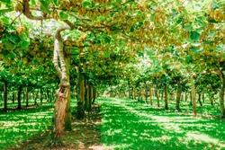 Kiwifruit farm - Te Puke, Bay of Plenty, North Island, New Zealand
