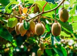 Kiwifruits growing on plant - Te Puke, Bay of Plenty, North Island, New Zealand