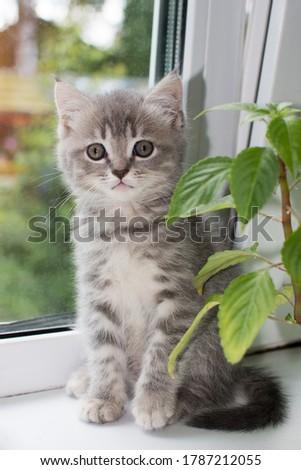 kleines lustiges graues K tzchen sitzt am Fenster und schaut in den Rahmen. Vertikales Foto, Nahaufnahme Stock foto ©