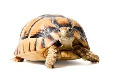 Kleinmann´s tortoise on white background