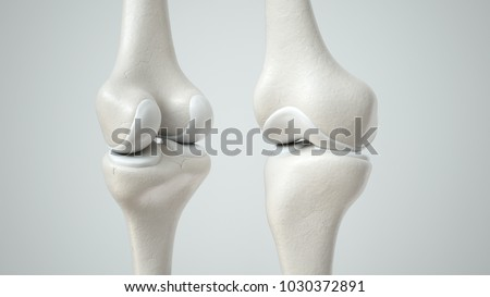 Knee joint with healthy cartilage, front and back -- 3D Rendering