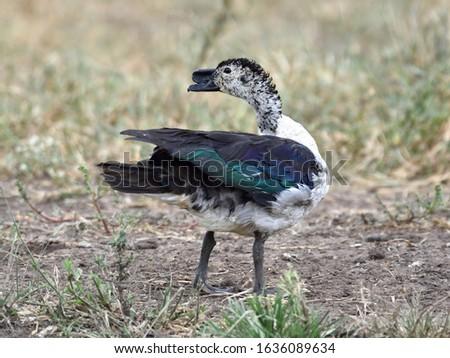 Knob-billed Duck, Sarkidiornis melanotos, Birds of Botswana