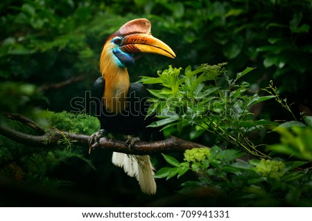 Knobbed Hornbill, Rhyticeros cassidix, from Sulawesi, Indonesia. Beautiful jungle hornbill, wildlife scene from Asian nature. Travelling in Indonesia.