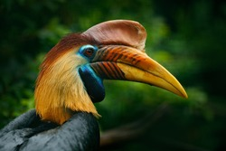 Knobbed Hornbill, Rhyticeros cassidix, from Sulawesi, Indonesia. Rare exotic bird detail eye portrait. Beautiful jungle hornbill, wildlife scene from nature.
