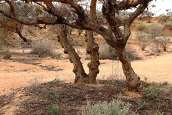 Knobby and warty growths on tree trunk in outback Australia