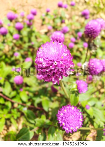 Knop flower (gomphrena globosa) is a species off flowering plant of the genus Gomphrena, this plat is an annual herb that is planted in the backyard or yard as an ornamental plant.
