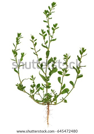 Knotgrass, Polygonum aviculare, the entire plant, with root, leaves and flowers