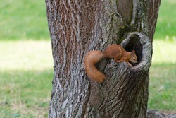 Know nature closely. Red squirrel climb tree trunk. Wild animal in natural environment. Cute rodent with fluffy tail. Nature park. Wildlife and fauna. To maintain ecosystem all creatures must live.