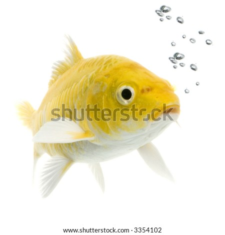 Koï - YAMABUKI OGON swimming in front of a white background