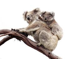 Koala and joey isolated against white