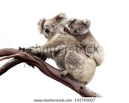 Koala and joey isolated against white