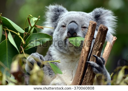 Koala at Lone Pine Koala Sanctuary Brisbane #370060808