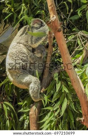 Koala Baby #697210699