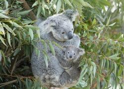 Koala baby on mother's back.