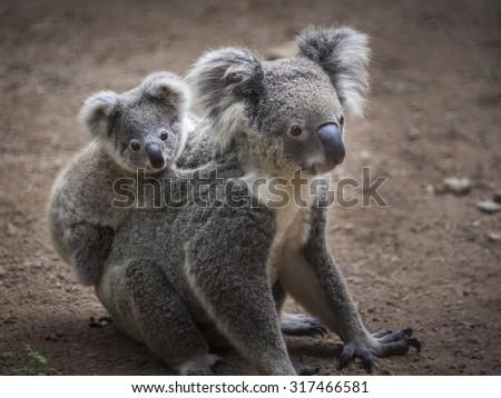 koala bear #317466581