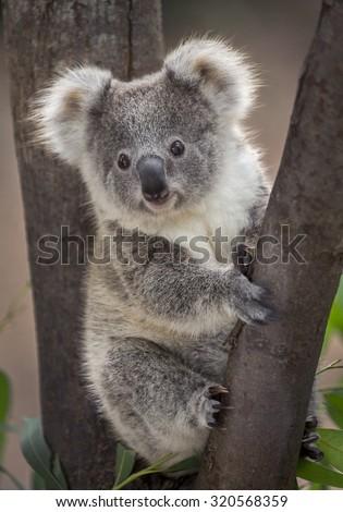 koala bear #320568359