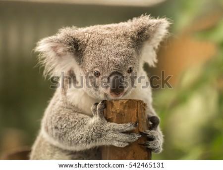 Koala Bear #542465131