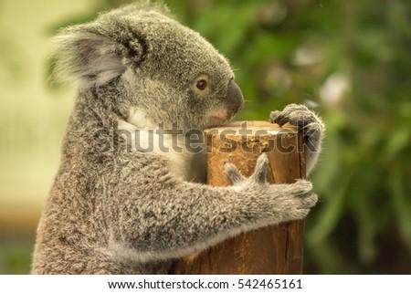 Koala Bear #542465161